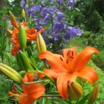 1-a.-Our-history-lilies
